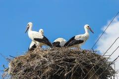 Cigüeñas blancas Foto de archivo libre de regalías