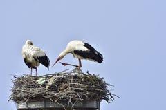 Cigüeñas blancas Imagen de archivo