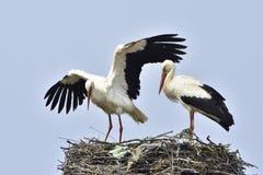 Cigüeñas blancas Imágenes de archivo libres de regalías