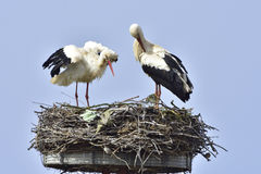 Cigüeñas blancas Imagen de archivo libre de regalías