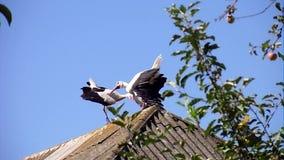 Cigüeñas blancas metrajes