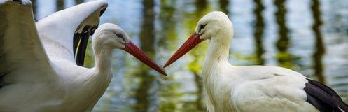 Cigüeñas blancas Fotografía de archivo