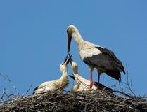 Cigüeñas blancas adultas que introducen polluelos Fotografía de archivo