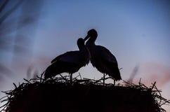 Cigüeñas blancas cariñosas Fotos de archivo