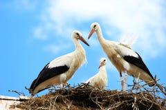 Cigüeñas blancas en jerarquía Fotografía de archivo