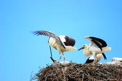 Cigüeñas blancas en jerarquía Fotos de archivo