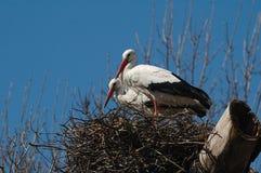 Cigüeñas blancas en la jerarquía Imagen de archivo