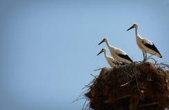 Cigüeñas blancas en una jerarquía con el cielo azul claro Foto de archivo libre de regalías