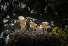 Cigüeñas blancas en una jerarquía en un árbol Foto de archivo libre de regalías