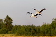 Cigüeñas blancas en vuelo Imágenes de archivo libres de regalías