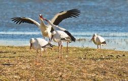 Cigüeñas blancas que luchan para una piedra Imágenes de archivo libres de regalías