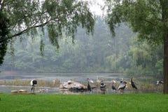 Cigüeñas blancas y grúas grises en la orilla del lago Foto de archivo libre de regalías