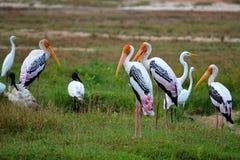 Cigüeñas coloridas por el lago, Srí Lanka imagen de archivo libre de regalías