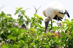 Cigüeñas de madera blancas en la Florida del sur Fotos de archivo