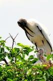 Cigüeñas de madera blancas estentóreas en la jerarquía, la Florida Fotografía de archivo