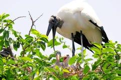 Cigüeñas de madera blancas ruidosas en la jerarquía, la Florida Foto de archivo libre de regalías