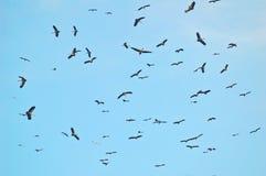 Cigüeñas de Thermalling Imagen de archivo