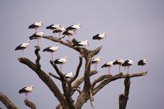 Cigüeñas en árbol Imágenes de archivo libres de regalías