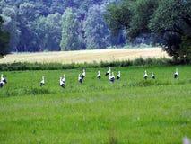 Cigüeñas en el prado Imagenes de archivo