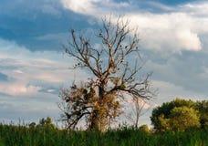 Cigüeñas en un árbol muerto foto de archivo
