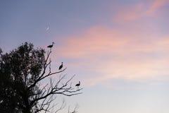 Cigüeñas en un árbol y una puesta del sol rosada Fotos de archivo libres de regalías