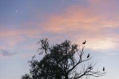 Cigüeñas en un árbol y una puesta del sol rosada Fotos de archivo