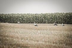 Cigüeñas en un campo de trigo de la cosecha Fotos de archivo libres de regalías