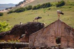 Cigüeñas que jerarquizan en casa arruinada en Marruecos imagenes de archivo
