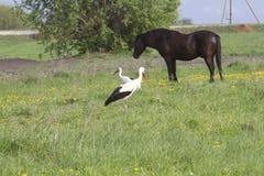 Cigüeñas y caballo en un prado de la primavera Fotografía de archivo
