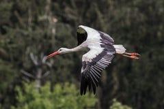 Cig?e?a blanca europea que vuela, ciconia del Ciconia en un parque de naturaleza alem?n imagen de archivo