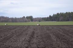 Cig?e?a en el campo que busca la comida Las cig?e?as caminan a trav?s de un campo arado fotografía de archivo
