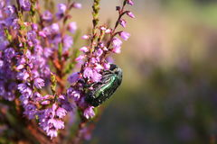 Ściga zbieracki nektar Zdjęcie Stock