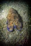 Cigala scyllarus Arktyczny w morzu śródziemnomorskim obraz royalty free