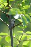 cigale Photo libre de droits