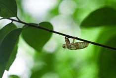 cigale photos libres de droits