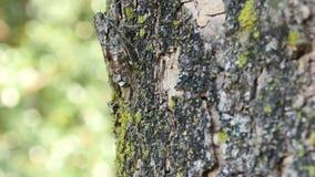 Cigale Chirring sur la fin d'arbre  banque de vidéos