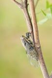 Cigale d'herbe Photo libre de droits