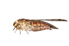 Cigale d'insecte photo stock