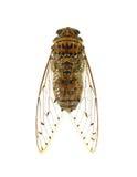 Cigale d'insecte d'isolement sur le fond blanc Images libres de droits