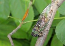 Cigale, linnei de Tibicen Image libre de droits