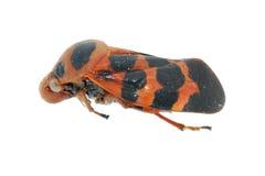 Cigale minuscule d'insecte rouge et noire photographie stock