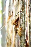 Cigale Shell photos libres de droits