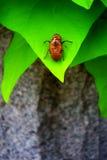 Cigale Shell Image libre de droits
