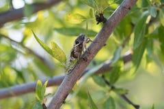Cigale sur un arbre Un regard de plan rapproché Image stock