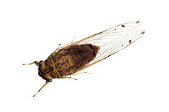 Cigales, cicadidae Image stock
