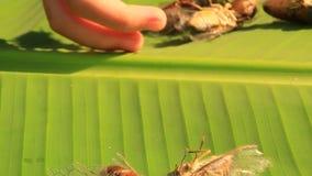 Cigales sur des feuilles de banane clips vidéos