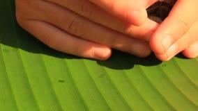 Cigales sur des feuilles de banane banque de vidéos