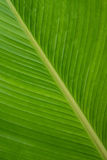 Cigar flower plant or Calathea Lutea leaf Royalty Free Stock Image