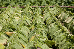 Cigar leaves drying on a plantation in Cuba, Vinal Royalty Free Stock Photos