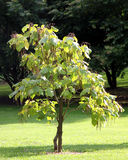 Cigar tree - catalpa Stock Image